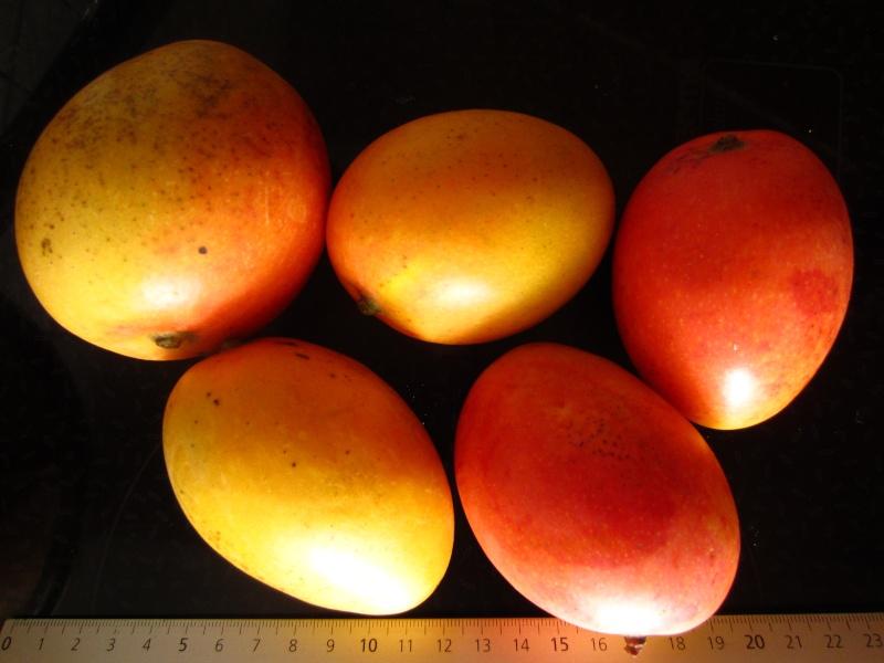 "Mangues ""sauvages"" de colombie Img_1910"