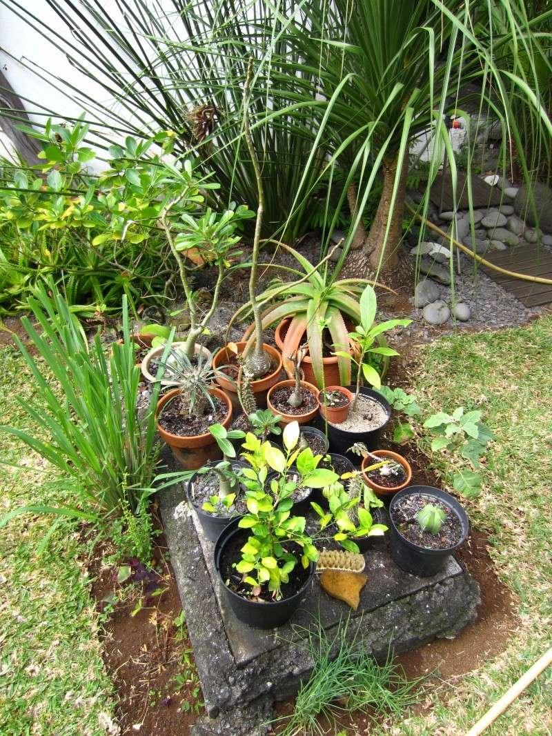Caudex et succulentes du jardin de Philippe, La Réunion Img_2039