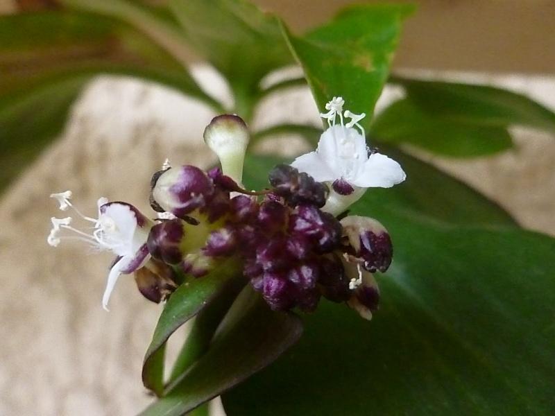 quelques fleurs de commelinaceaes... - Page 3 P1040814