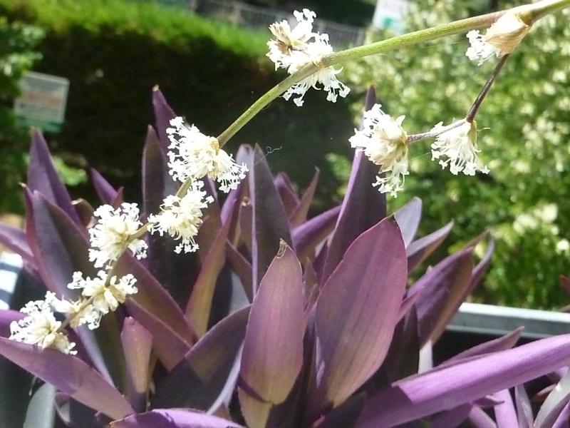 quelques fleurs de commelinaceaes... - Page 3 P1050313