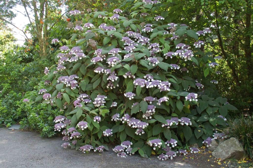 Hydrangea aspera (= H. villosa) - hortensia velu 8a8910
