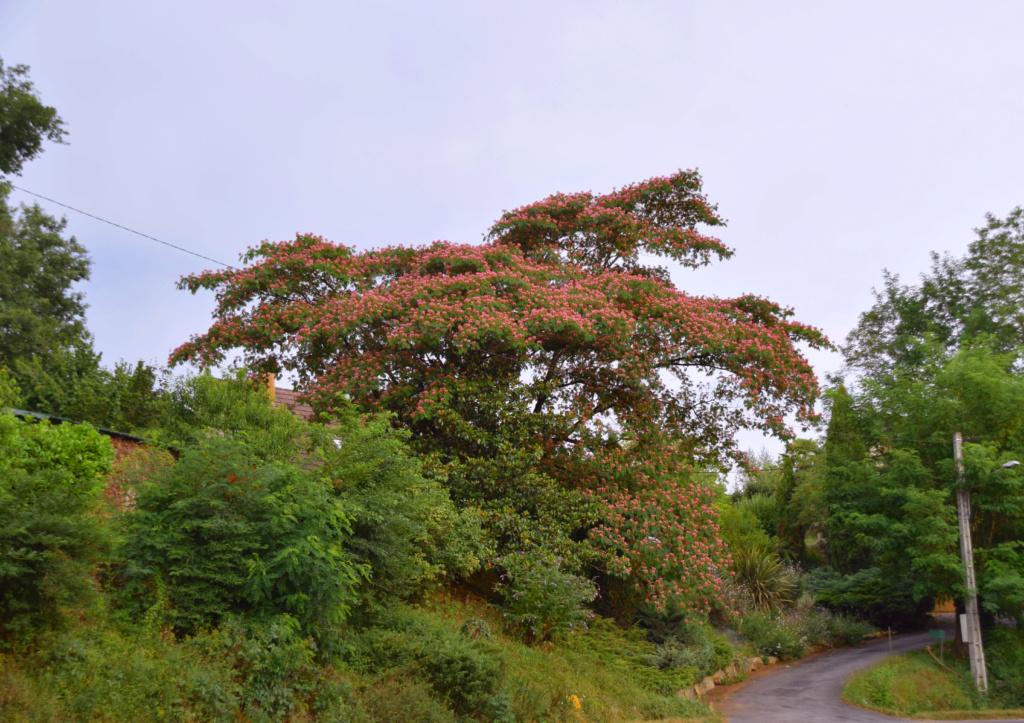 Albizia julibrissin - arbre à soie  - Page 2 Albizz10