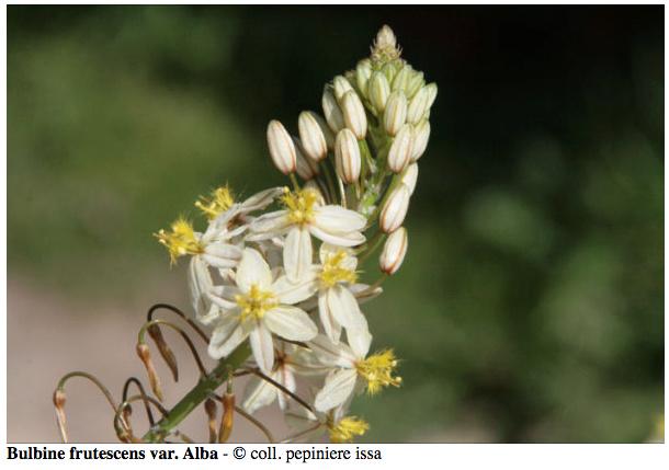 Bulbine frutescens - Page 2 Bulbin10