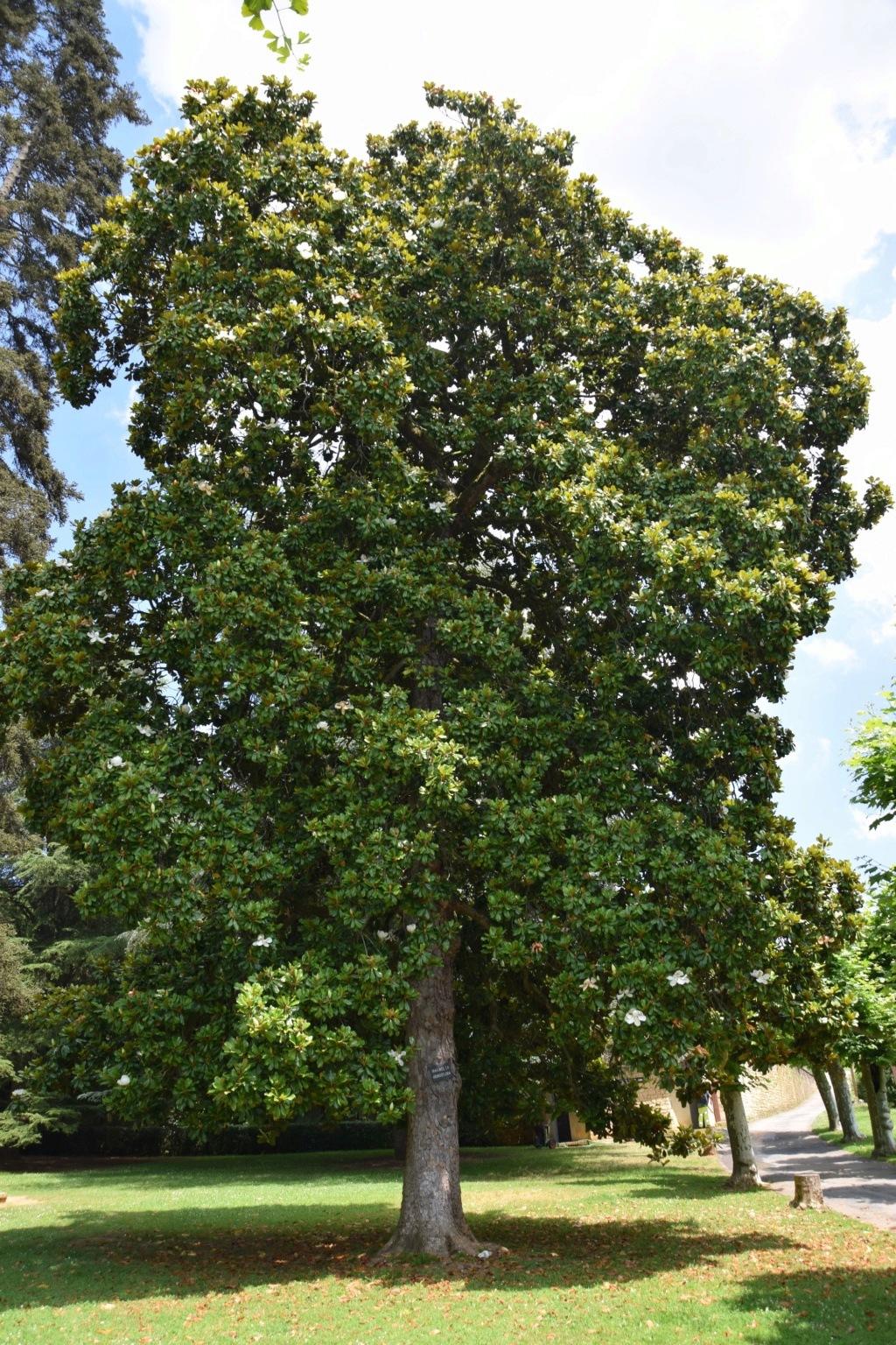 Magnolia grandiflora - Page 2 Dsc_0412