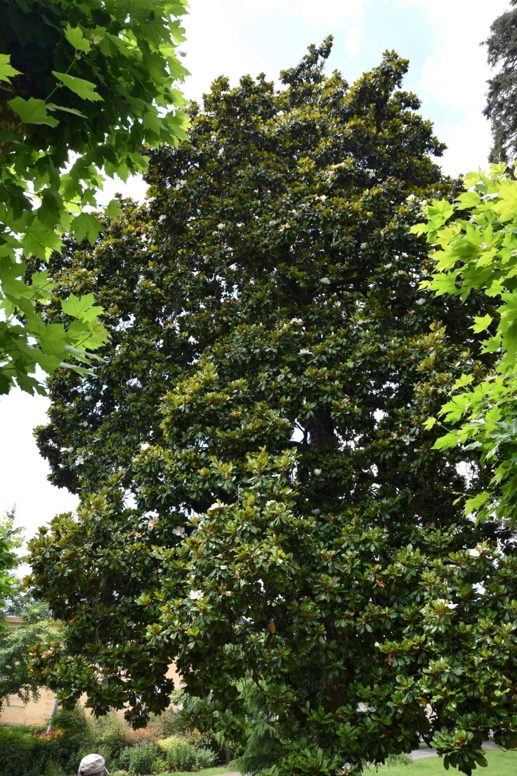 Magnolia grandiflora - Page 2 Dsc_0413