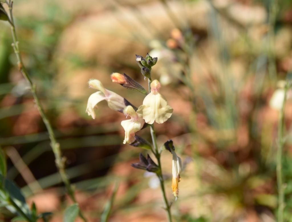Salvia - les floraisons du moment - Page 18 Dsc_0420