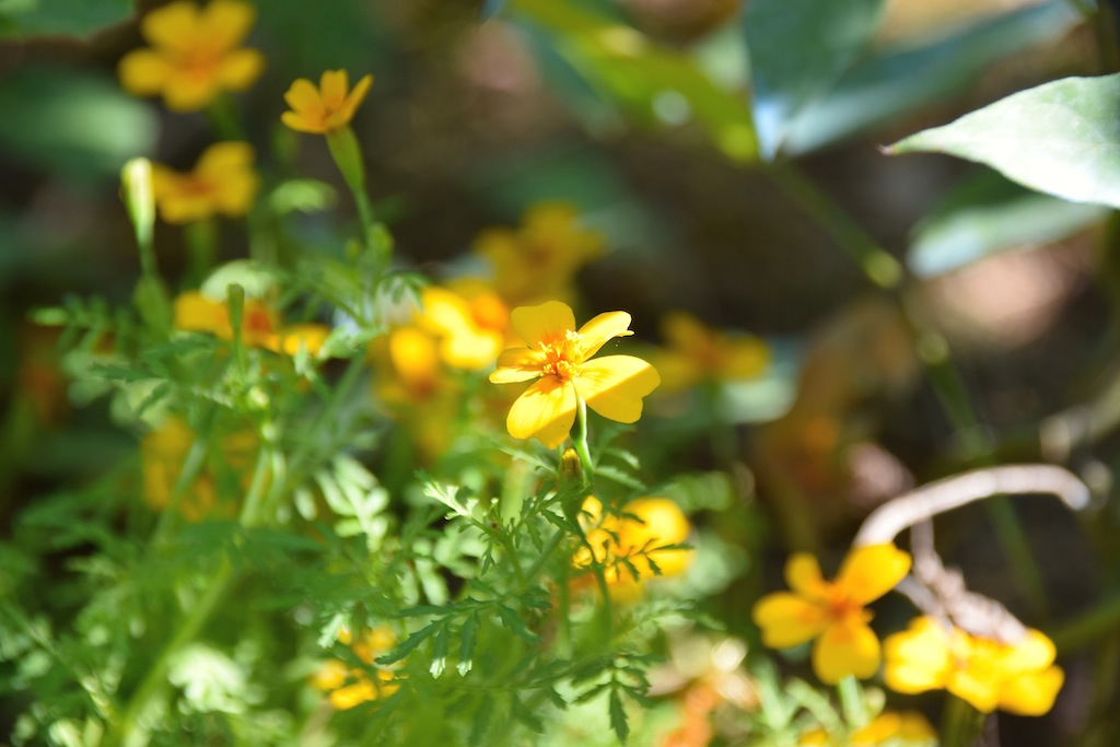 Tagetes tenuifolia pumila [identification] Dsc_0426