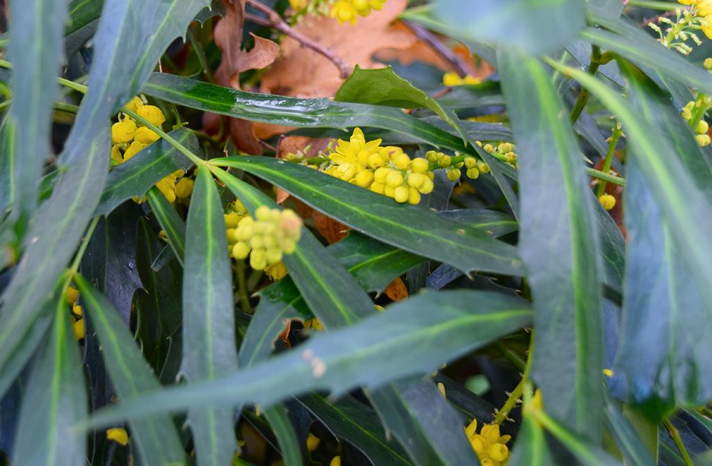 Mahonia eurybracteata - Page 4 Dsc_0438