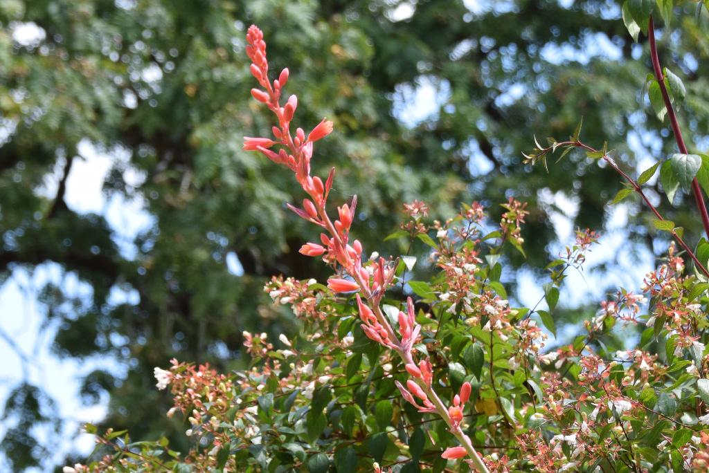 Hesperaloe parviflora - Page 2 Dsc_0817