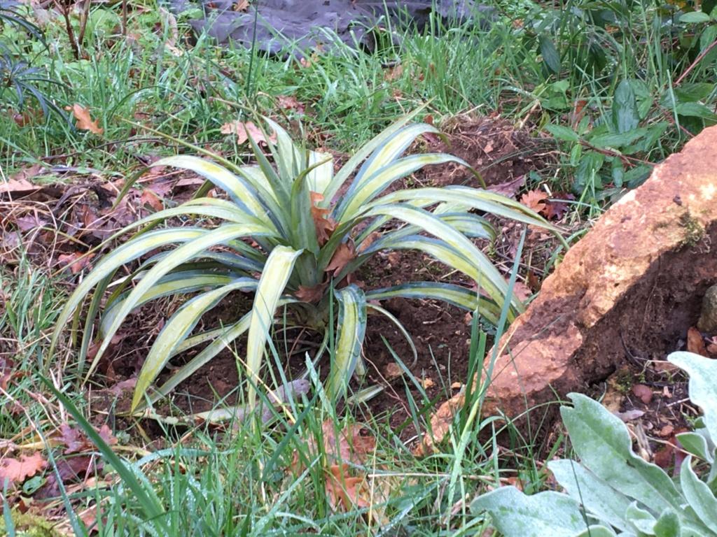 Yucca 'Banana Split' Img_0012