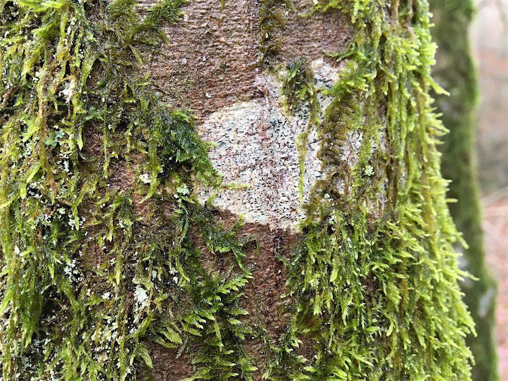 Mousses, lichens et autres fantaisies de l'hiver Img_0112