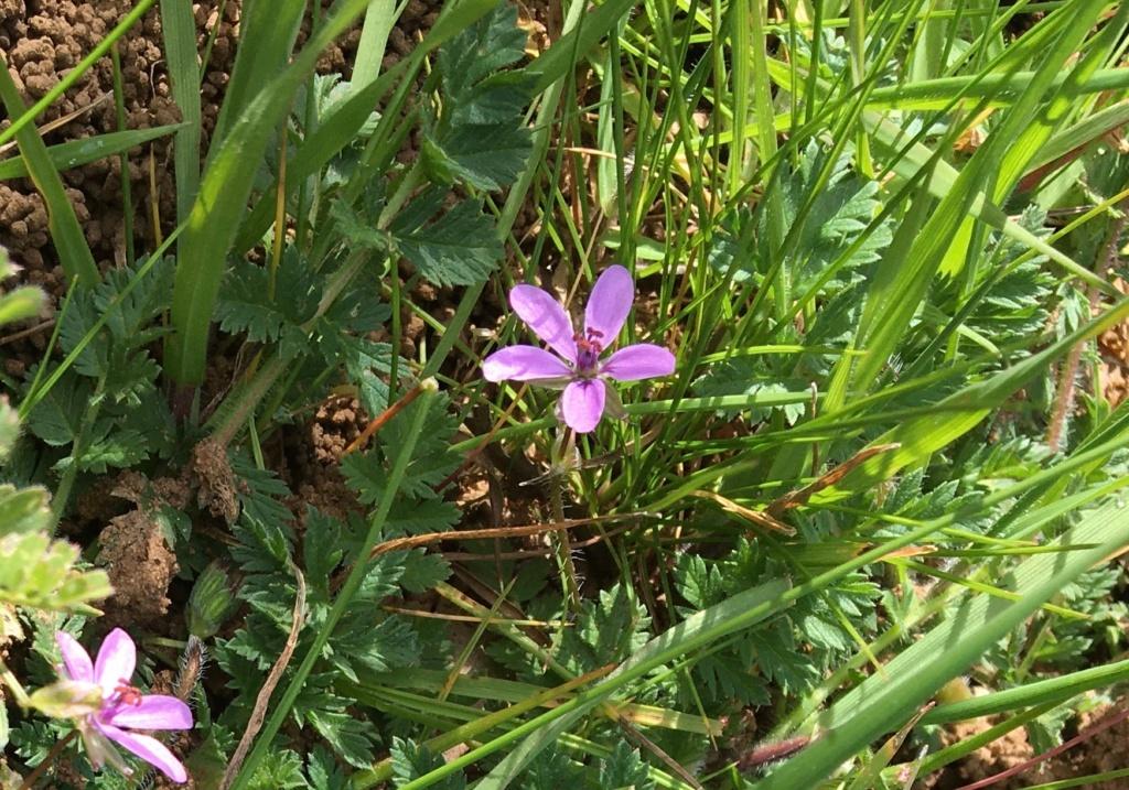 petite sauvageonne à fleurs roses Img_0413