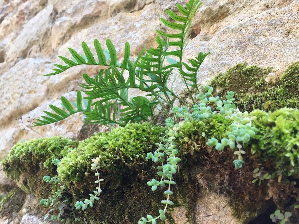 flore des vieux murs, rochers  et rocailles naturelles - Page 8 Img_0526