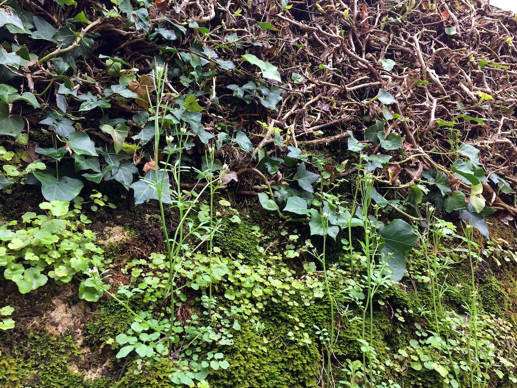 flore des vieux murs, rochers  et rocailles naturelles - Page 8 Img_0613