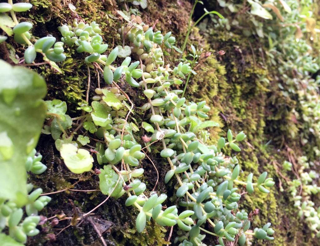 flore des vieux murs, rochers  et rocailles naturelles - Page 8 Img_0615