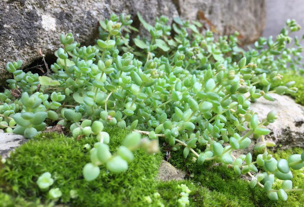 flore des vieux murs, rochers  et rocailles naturelles - Page 8 Img_0618