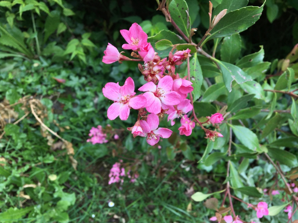 Arbuste en fleurs à identifier  Img_0632