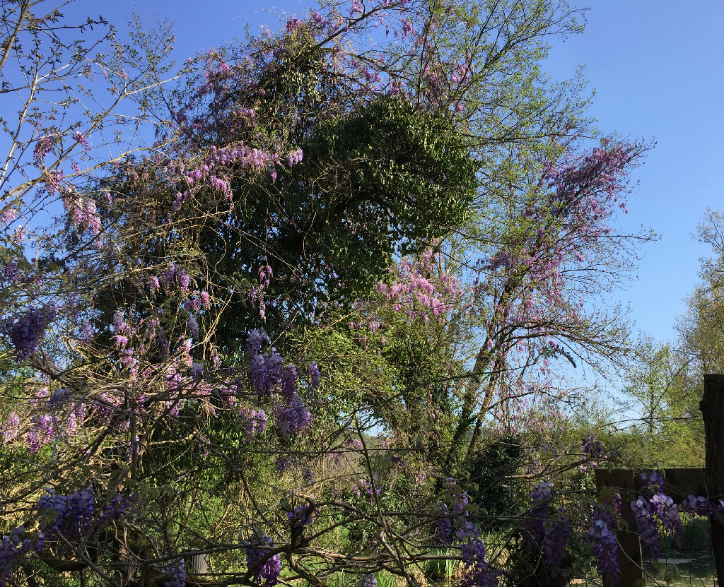 Wisteria - les glycines  - Page 9 Img_0720