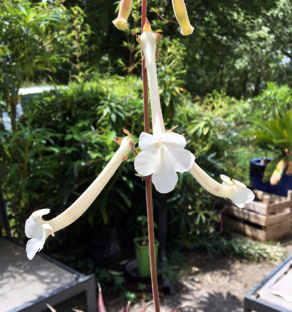 Sinningia tubiflora Img_0919