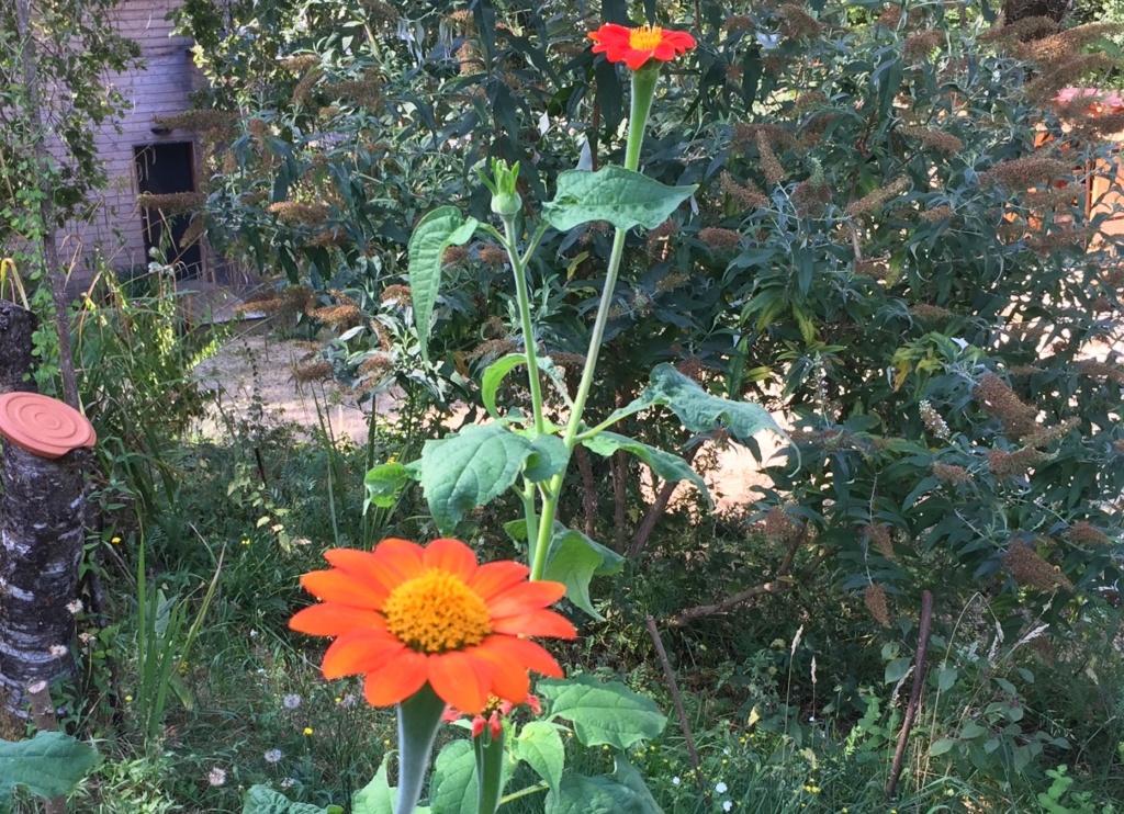 Tithonia rotundifolia - soleil du Mexique Img_1118
