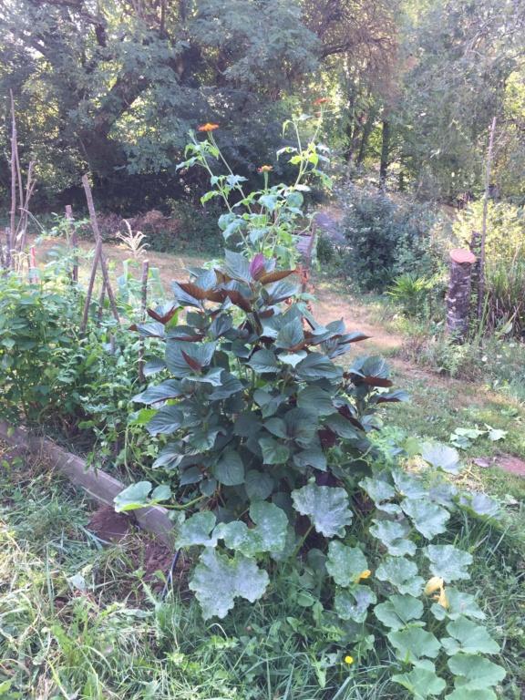 Tithonia rotundifolia - soleil du Mexique Img_1119