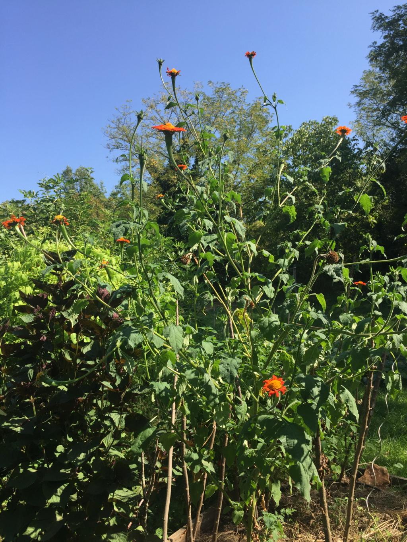 Tithonia rotundifolia - soleil du Mexique Img_1216