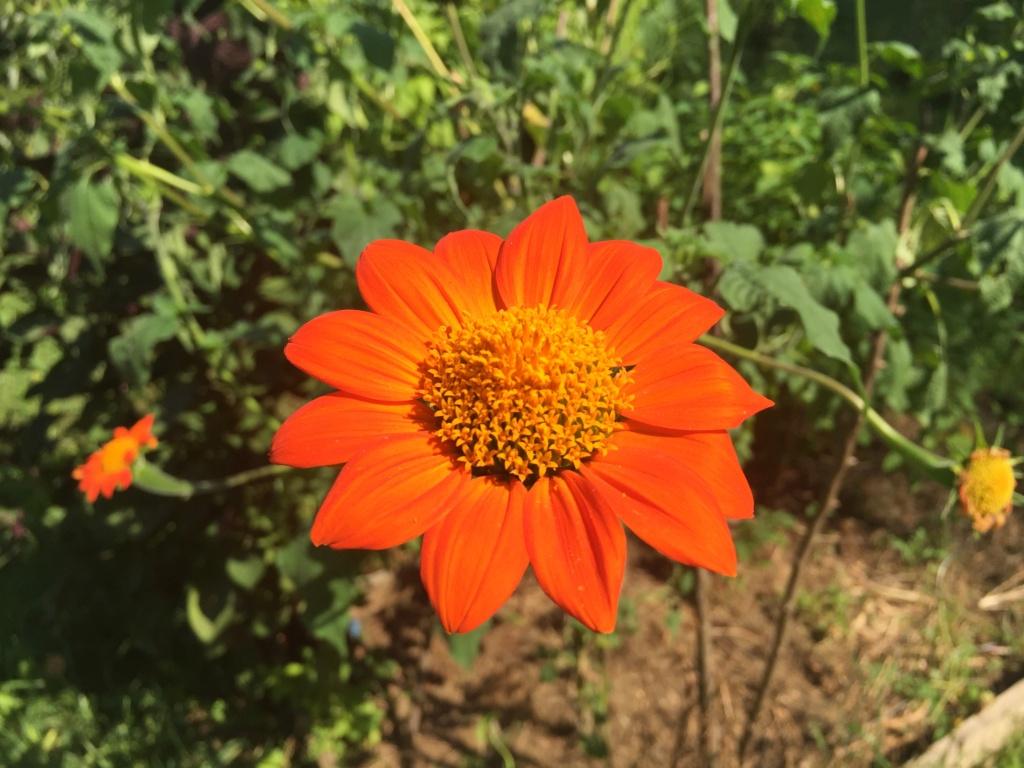 Tithonia rotundifolia - soleil du Mexique Img_1217