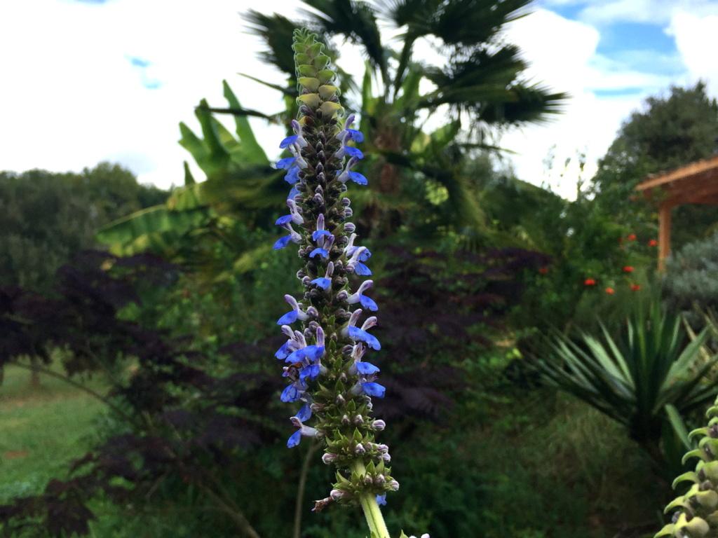 Salvia congestiflora Img_1313