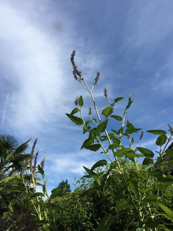 Salvia congestiflora Img_1321