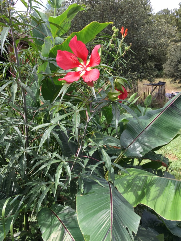 Hibiscus coccineus - Page 3 Img_1331