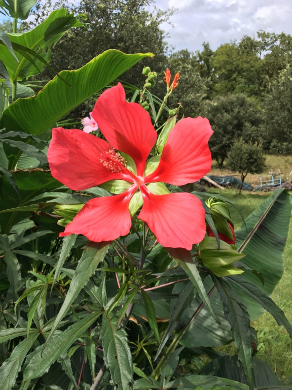 Hibiscus coccineus - Page 3 Img_1333