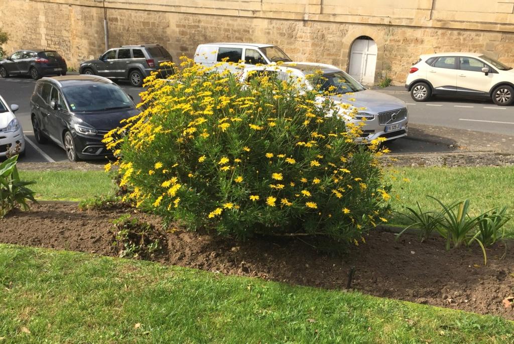 astéracée arbustive à fleurs jaunes Img_1415