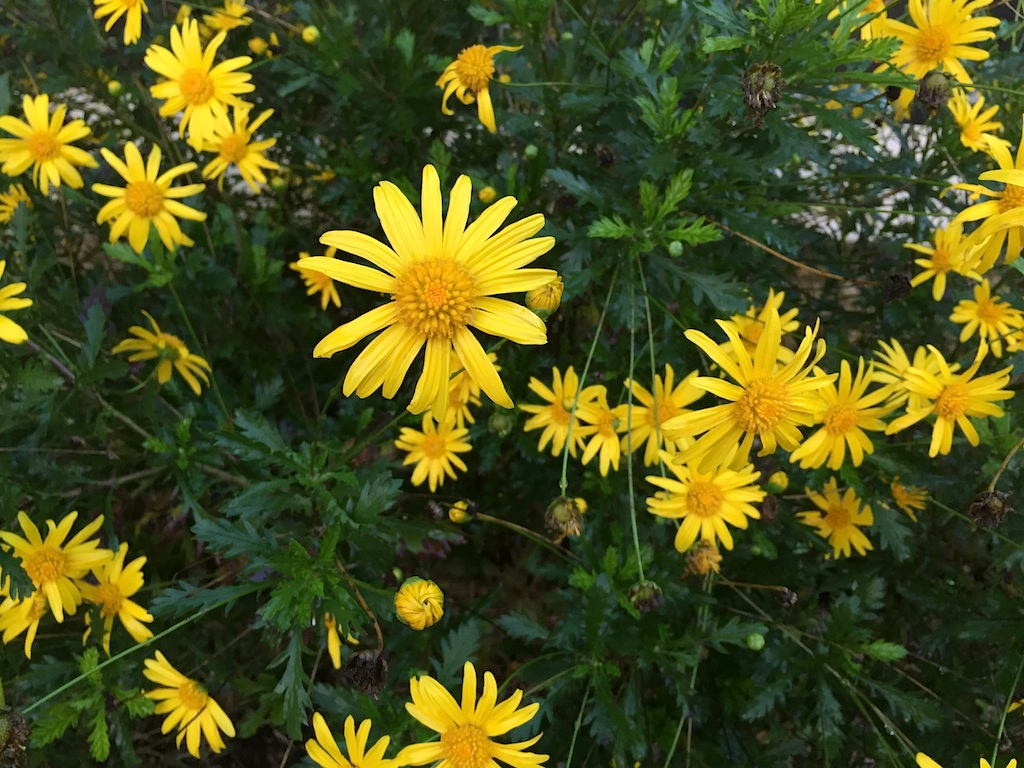 astéracée arbustive à fleurs jaunes Img_1416
