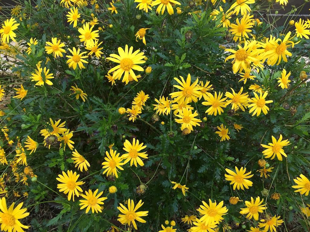 astéracée arbustive à fleurs jaunes Img_1417