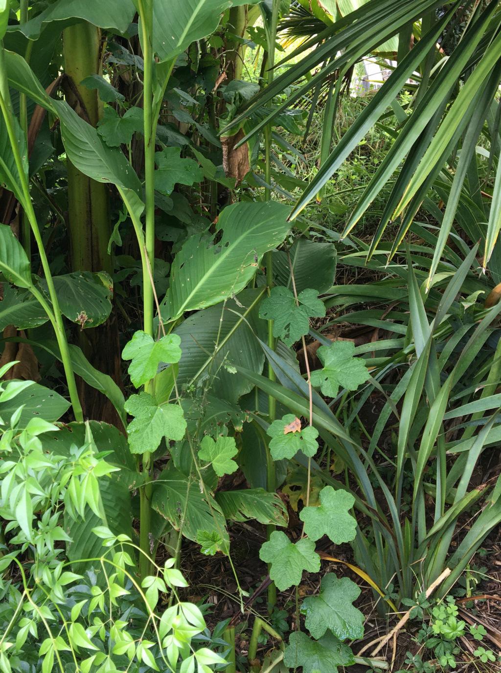 Rubus setchuenensis - Page 2 Img_1432
