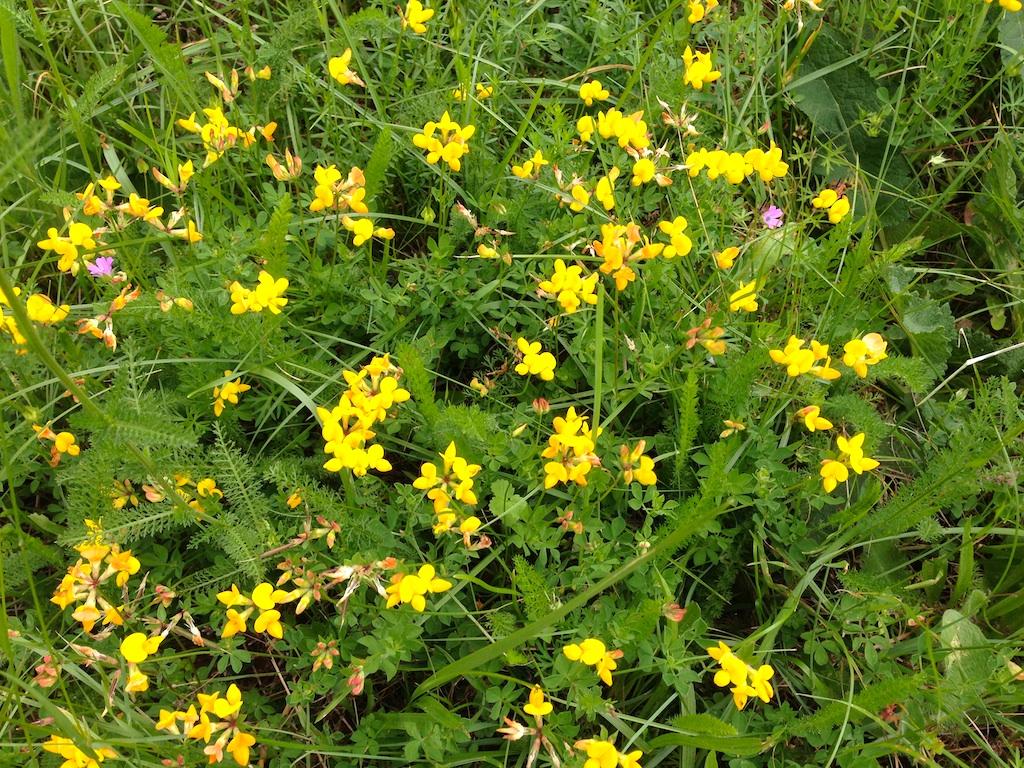 Lotus corniculatus - lotier corniculé Img_3610