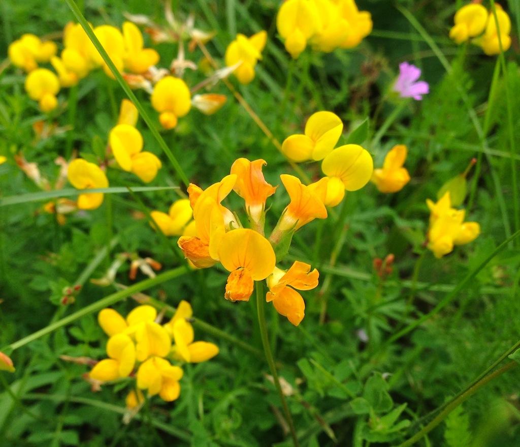 Lotus corniculatus - lotier corniculé Img_3611