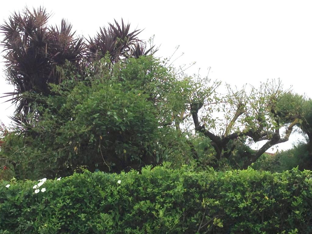 Erythrina crista-galli - Page 5 Img_3711