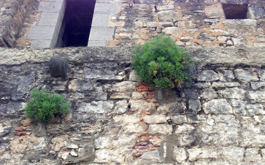 flore des vieux murs, rochers  et rocailles naturelles - Page 7 Img_3712