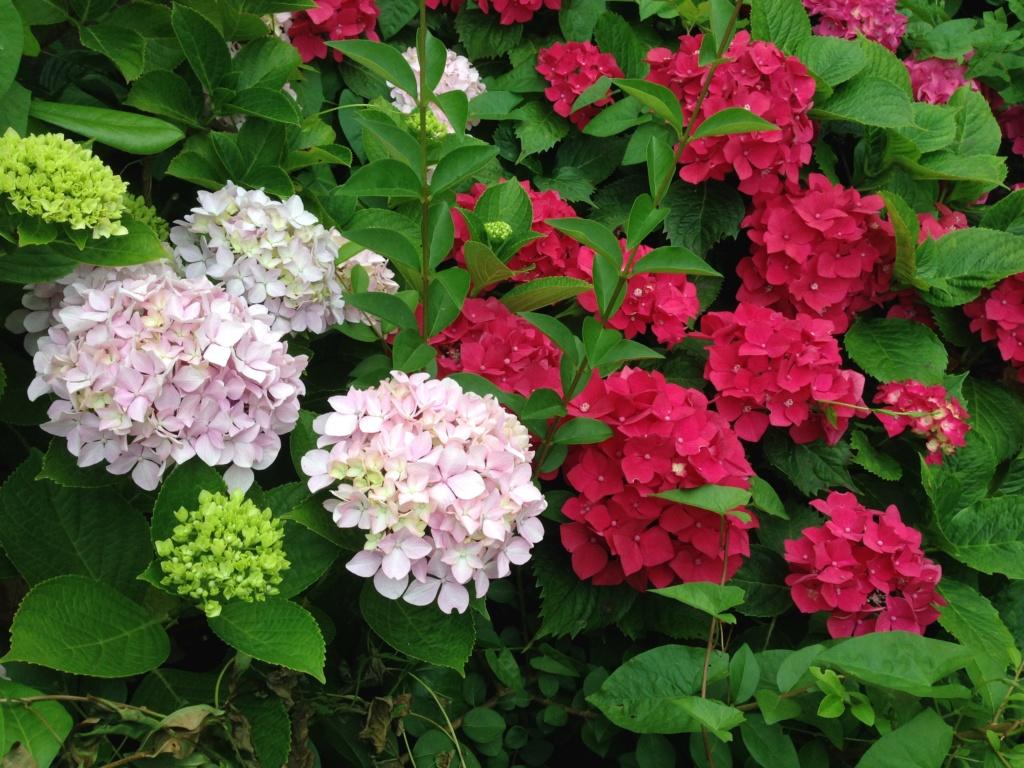 Hydrangea - hortensia - conseils de culture Img_3713