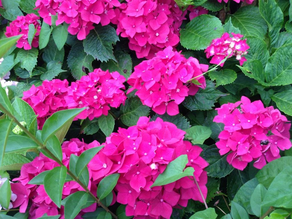 Hydrangea - hortensia - conseils de culture Img_3714