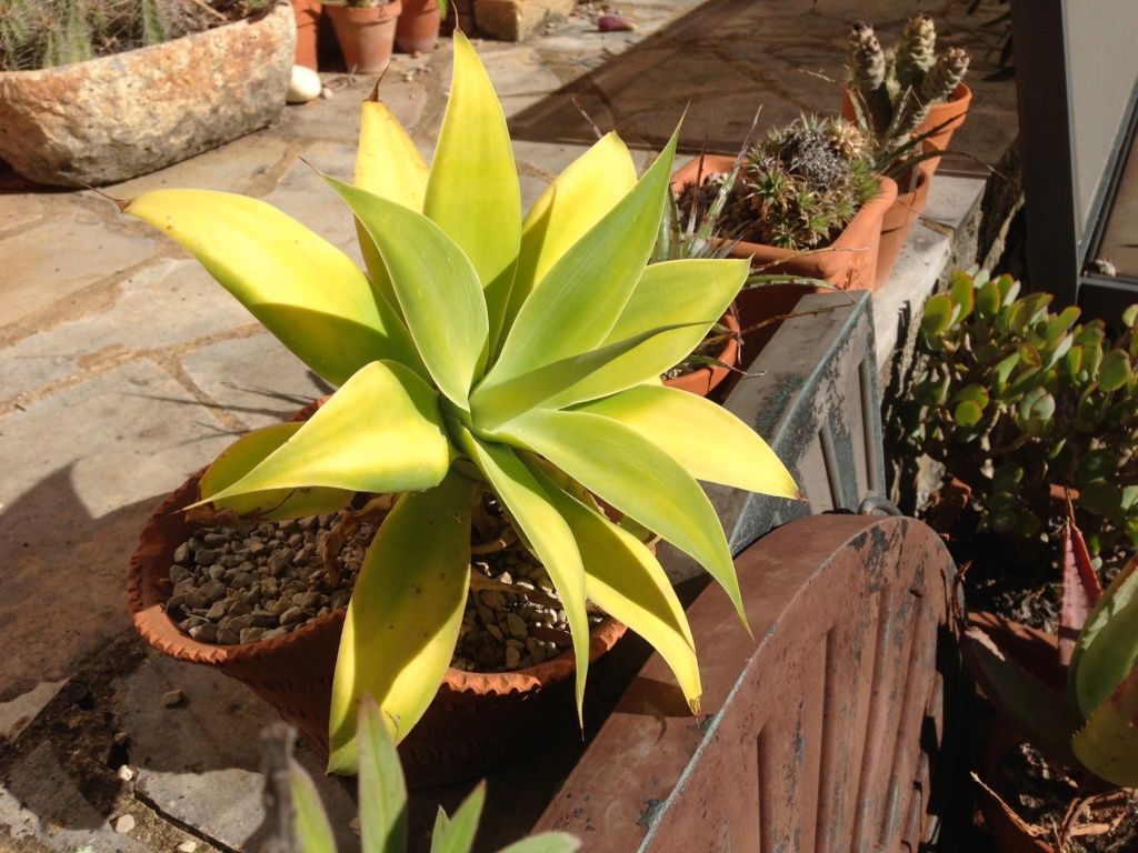 Agave attenuata - Page 2 Img_4044
