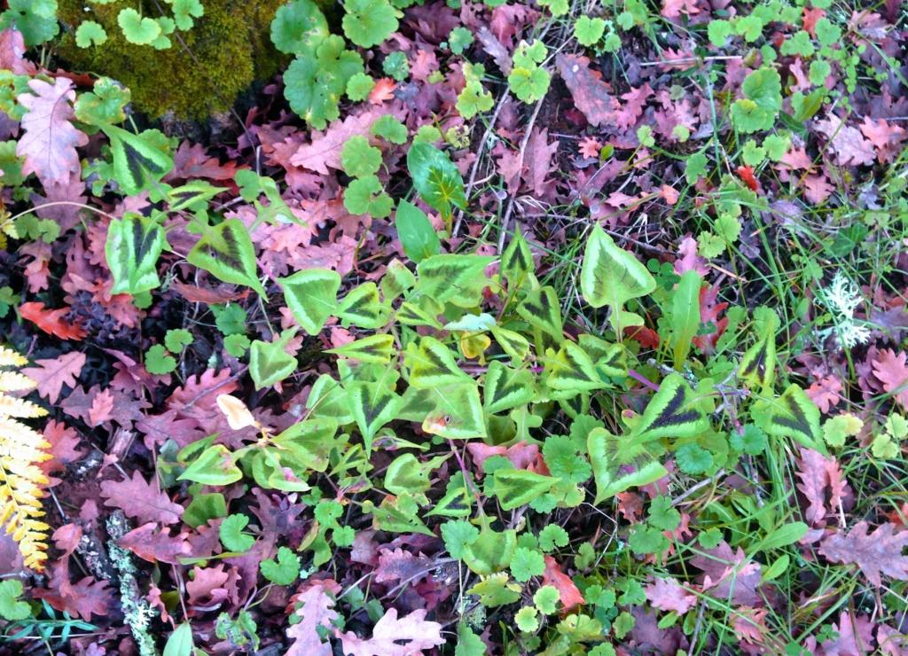 Polygonum runcinatum (= Persicaria runcinata) Img_4049
