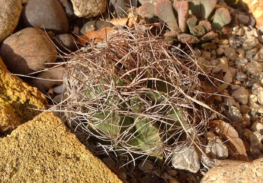 Astrophytum capricorne v. aureum = Astrophytum senile v. aureum Img_4115