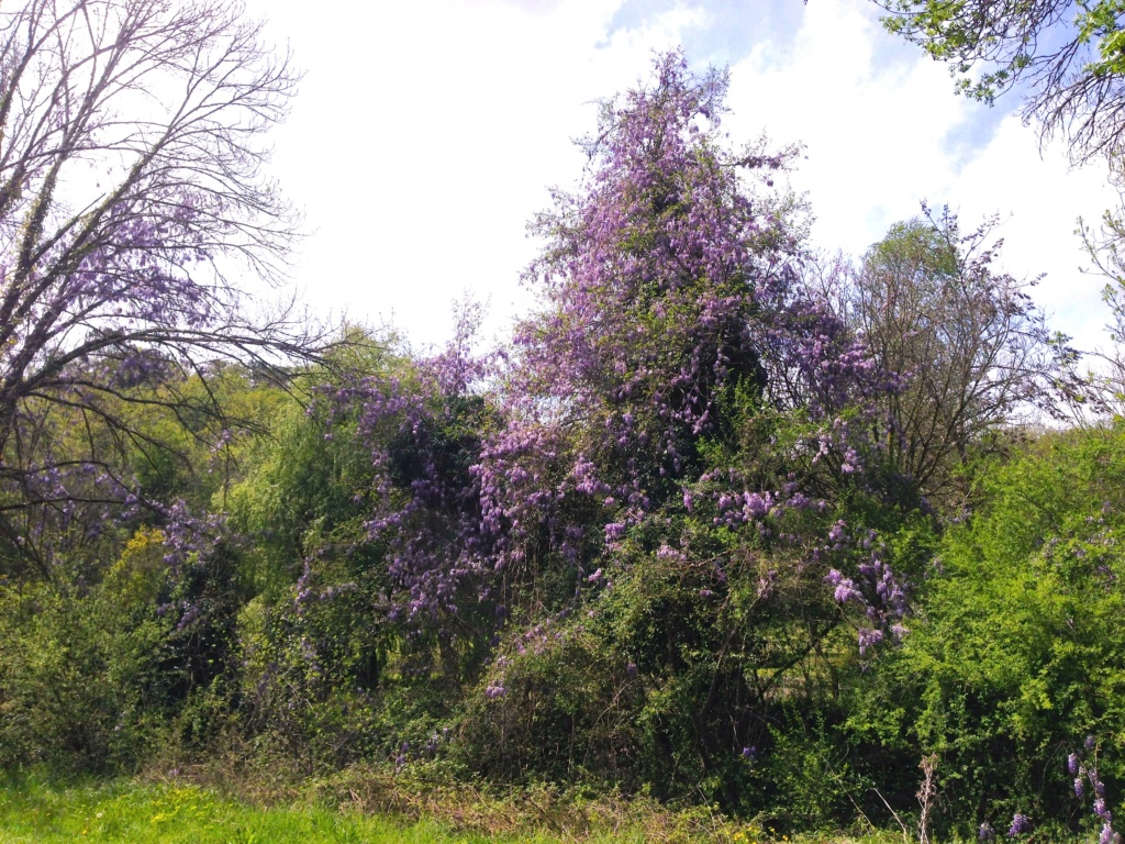 Wisteria - les glycines  - Page 7 Img_4319