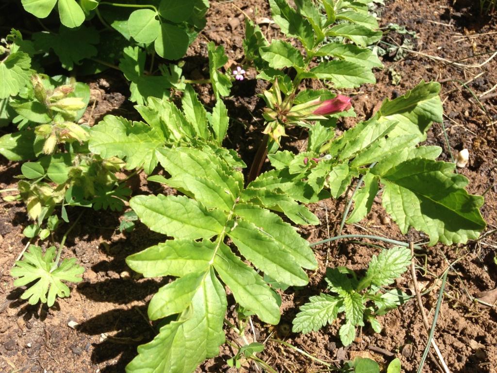 ID : herbacée à fleurs tubulaires roses - trouvé Incarvillea Img_4331