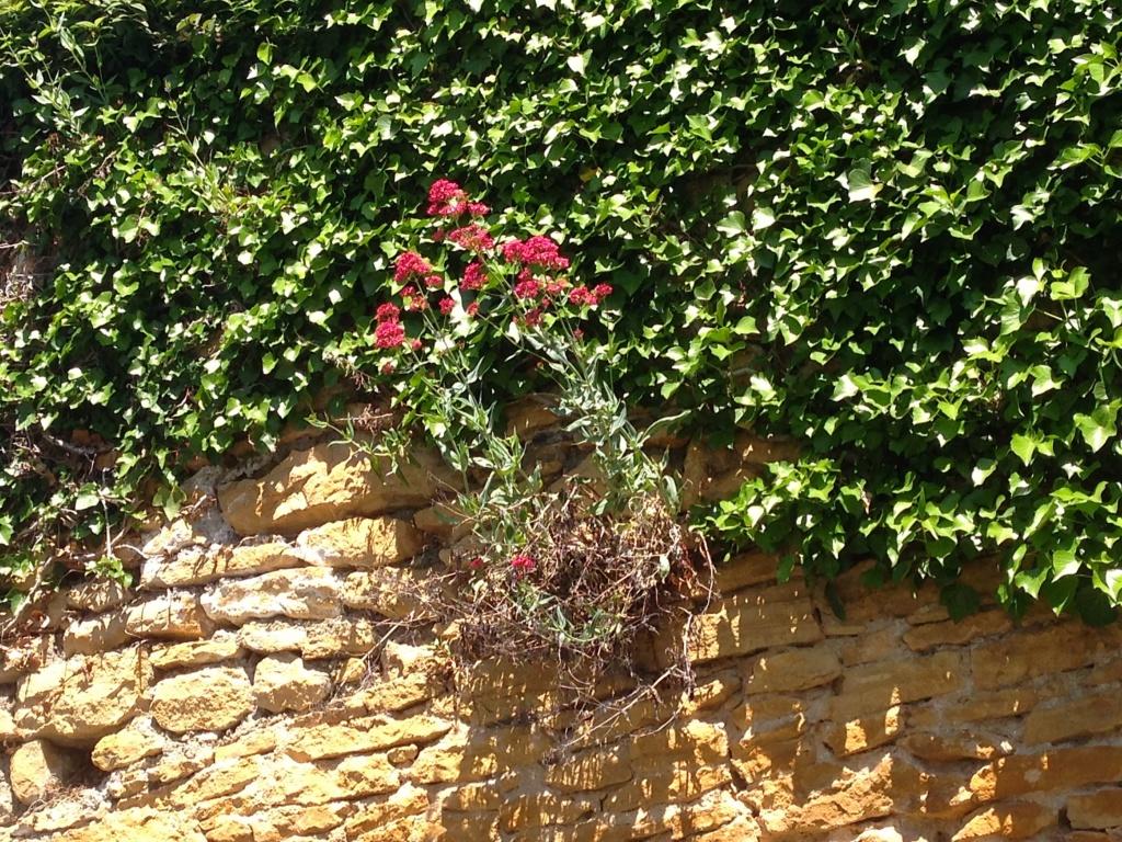 Centranthus ruber - valériane / centranthe rouge Img_4336