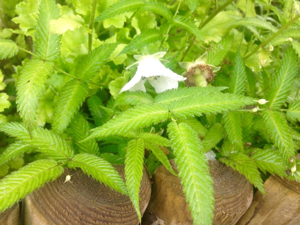 Rubus illecebrosus - framboisier fraise Img_4416