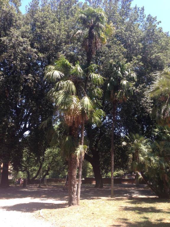 Trachycarpus fortunei - Page 11 Img_4528
