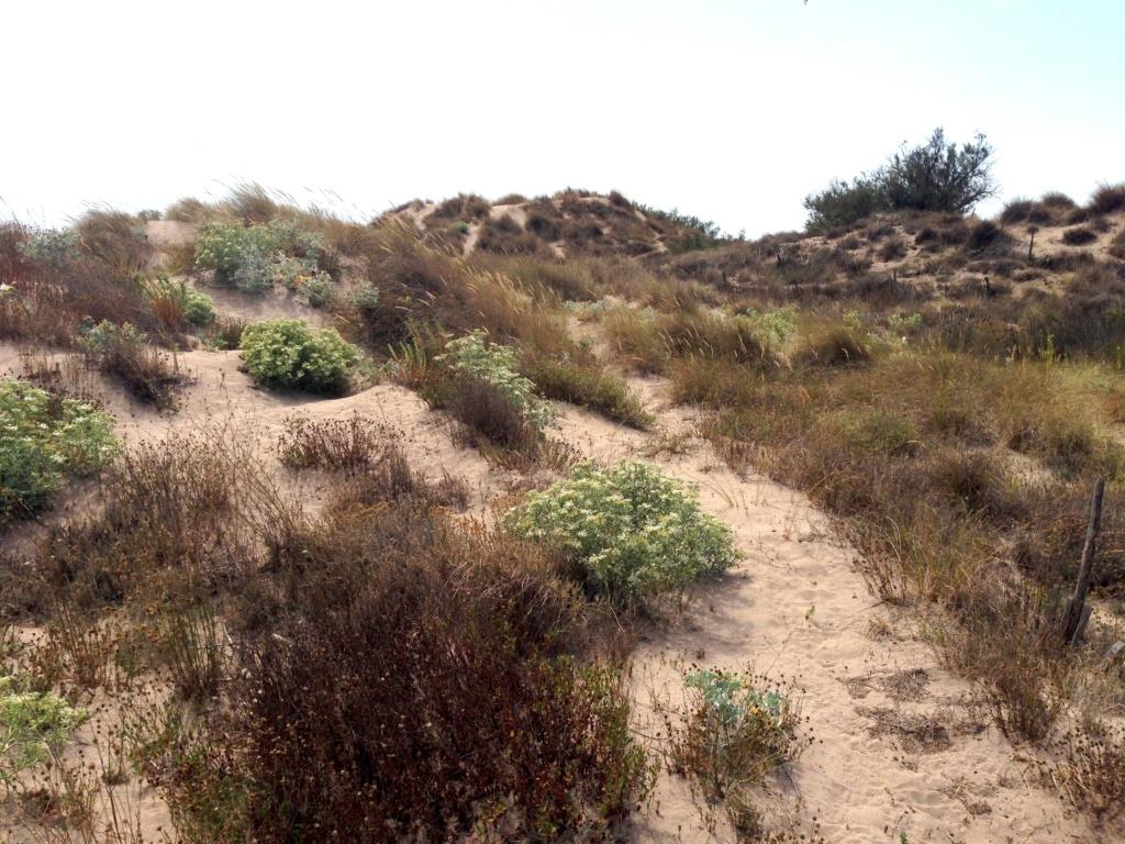 flore du littoral : plages, dunes, vases et rochers maritimes - Page 7 Img_4613